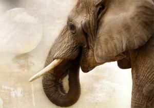 象牙の需要とともに増える密猟